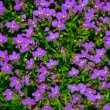 Stock Photo: Vibrant bright purple daisy flowers in pattern filling fra