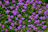 Vibrant bright purple daisy flowers in a pattern filling the fra — Stock Photo