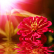 Stock Photo: Closeup of red flower with soft focus reflecting in water