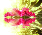 Celosia argentea flower with sun on back side reflecting in wate — Stock Photo