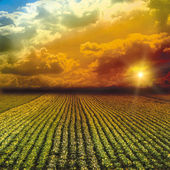 The fine cabbage field wis sky — Stock Photo