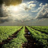 Rajče pole s mraky a slunce — Stock fotografie