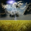 The wheat field and storm with lightnings — Stock Photo