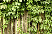 Fragment of a rural fence hedge from evergreen plants — Stock Photo