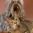 Bolonka Zwetna and cat  in studio — Stock Photo