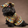 Stock Photo: Russicolor lap dog in studio in dress