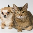 Cat and chihuahua in studio - Stock Photo