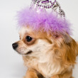 Chihuahua and decorations — Stock Photo