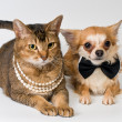 Stock Photo: Cat and chihuahuin studio