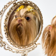 Bolonka Zwetna and a mirror — Stock Photo