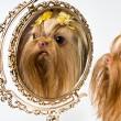 Bolonka Zwetna and a mirror — Stock Photo