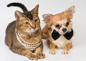 Cat and chihuahua in studio — Stock Photo