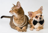 Cat and chihuahua in studio on a neutral background — 图库照片