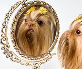 Bolonka zwetna et un miroir — Photo