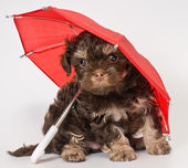 A puppy under the umbrella — Stock Photo