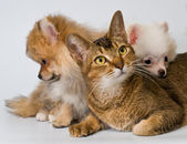 Cat and puppies in studio — Stock Photo