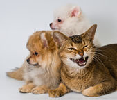 Cat and puppies in studio — Stock Photo