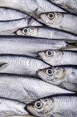 Freshly caught sprat — Stock Photo