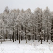 Wintry forest with snowy trees — Stock Photo