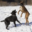 Labrador and boxer playing in the snow - Stockfoto