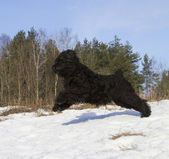 Black Russian Terrier — Stock fotografie