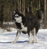 Siberian husky run on snow — Stock Photo