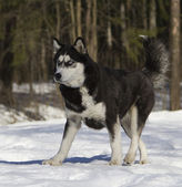 Siberian husky run on snow — Stock Photo