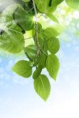 绿色春天树叶 — 图库照片