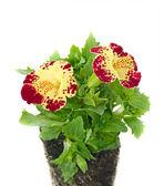 Flores de colorido da primavera em vasos. — Fotografia Stock