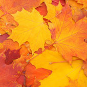 Autumn colorful background of mapple leaves — Stock Photo