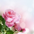 Rose in the garden — Stock Photo