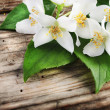 Stock Photo: Jasmine Flower