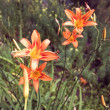 Orange lily flower with green leaves — Stok fotoğraf