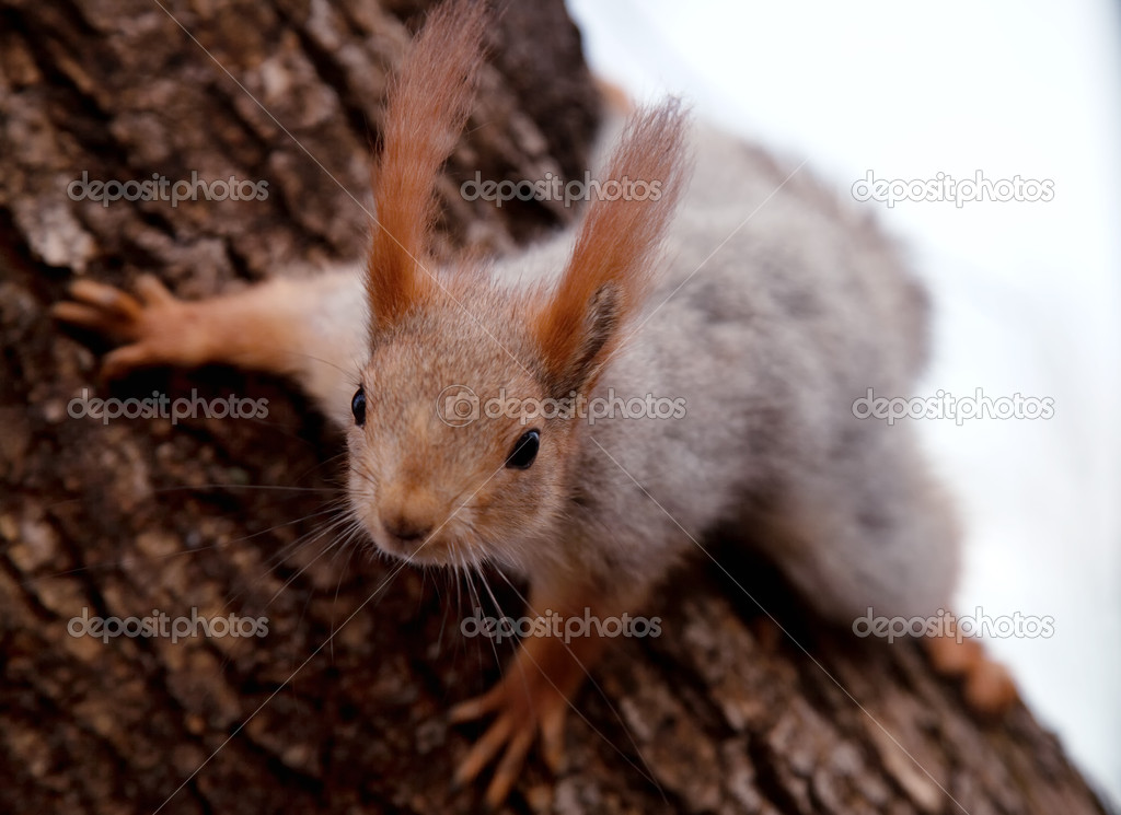 Squirrel on the trunk of pine tree close-up  Stock Photo #11734703