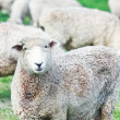 Stock Photo: Sheeps