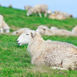 Sheeps — Stock Photo #10857087