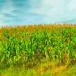 Corn crop — Stock Photo #11799671