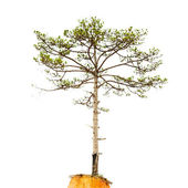 Pinetree — Stock Photo