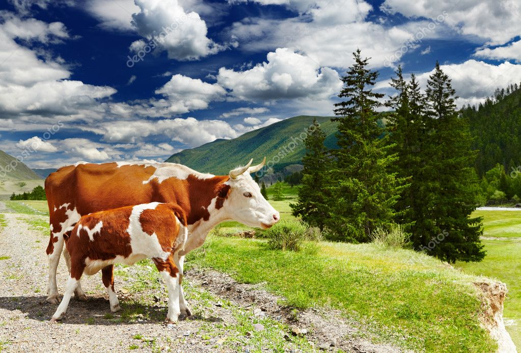Mountain landscape with cows and forest — Stock Photo #11377578