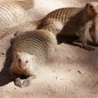 Banded mongooses - Stock Photo