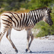 Zebra baby - Stok fotoraf