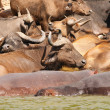 Stock Photo: Buffaloes and hippos