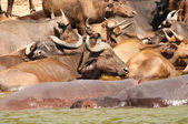 Buffaloes and hippos — Foto de Stock