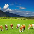 Grazing cows - Foto Stock
