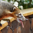 Coati at Iguazu Falls in Argentina — Stock Photo