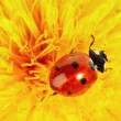Yellow flower with ladybug - Stock Photo