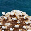 Gannet colony - Foto Stock