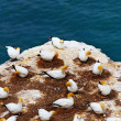 Gannet colony - Stock Photo
