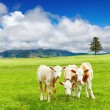 Three calves — Stock Photo