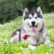Stock Photo: Alaskmalamute